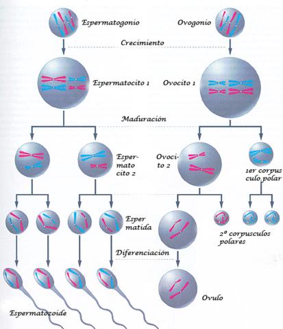Las células se obtienen por división de las mismas