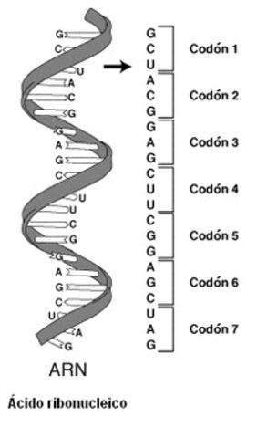 se descifra el código genético