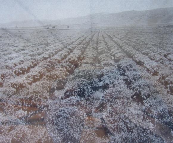 Rubber plantation established in Valley Center
