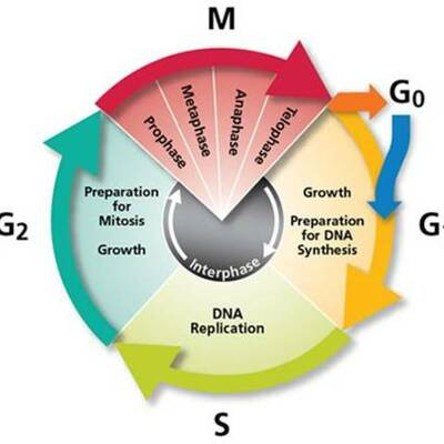 The cell cycle timeline
