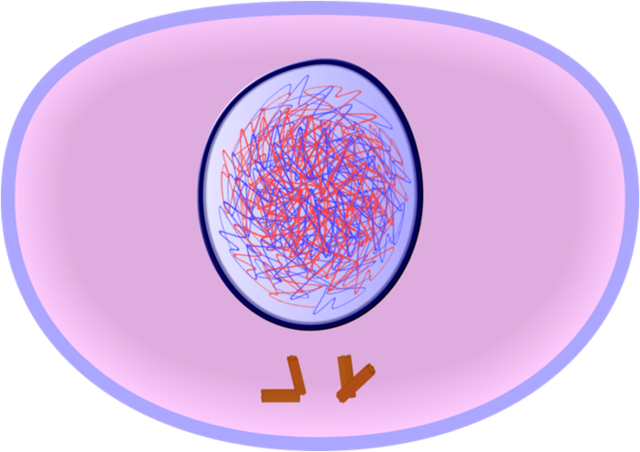 Interphase or S-Phase