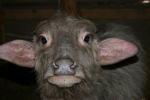 Rat Kiley shoots a baby buffalo