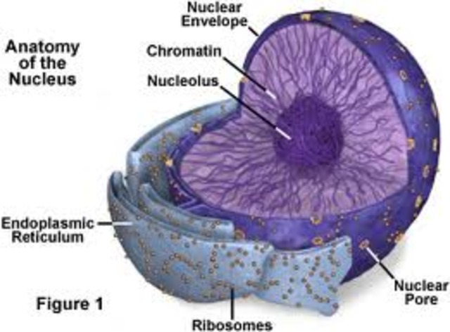 Robert Brown discovered cell  nucleus