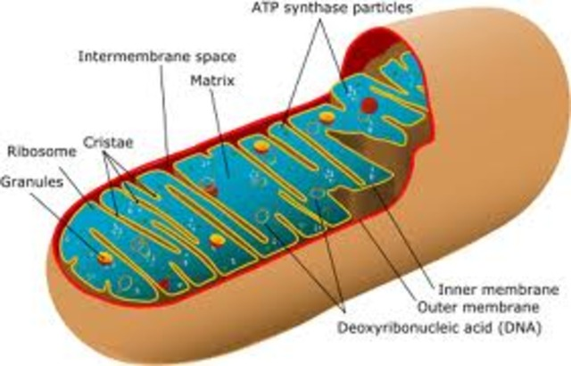 Rudolph Koilker found muscle cells containing parts called Mitochondria