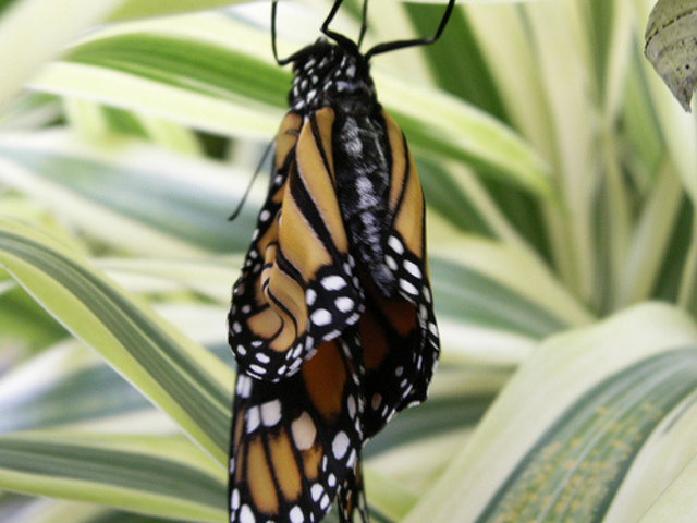 The Mature Butterly Emerges