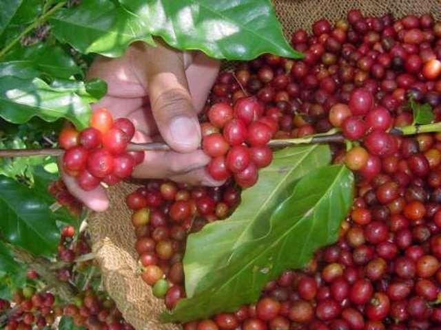 El  café en Guatemala