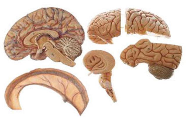 Se empieza a estudiar el sistema nervioso con mayor interés