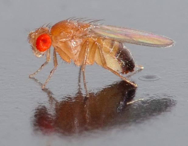 First animals in space (Fruit Flies)