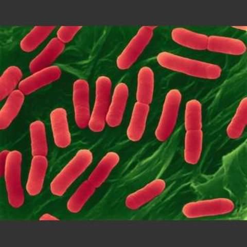 Madel and Higa- transform bacteria