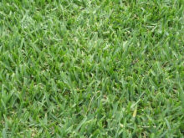 Introduction of Kikuyu grass to Australia