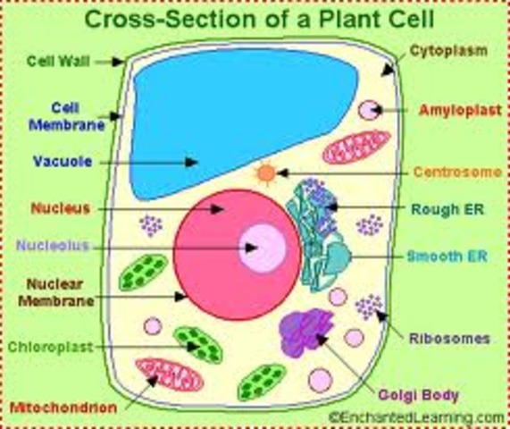 Plant cells are discovered.