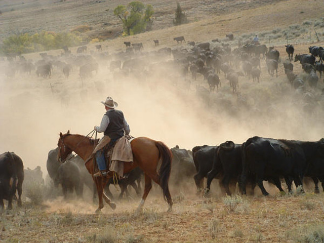 First Cattle Drive