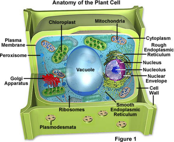 Plants and Cells