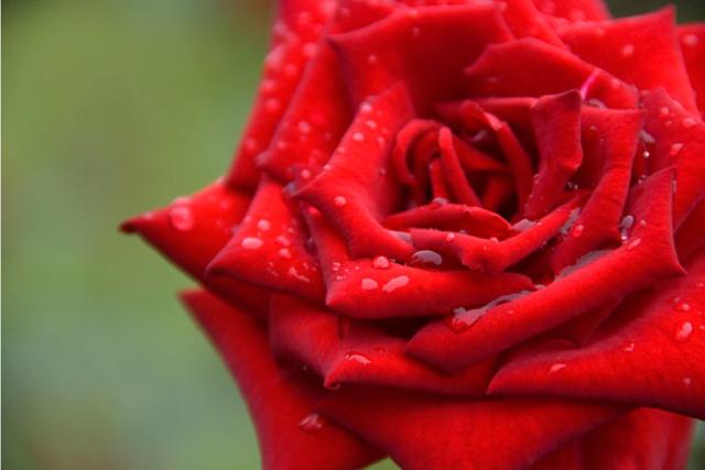 Rose Became U.S. National Flower