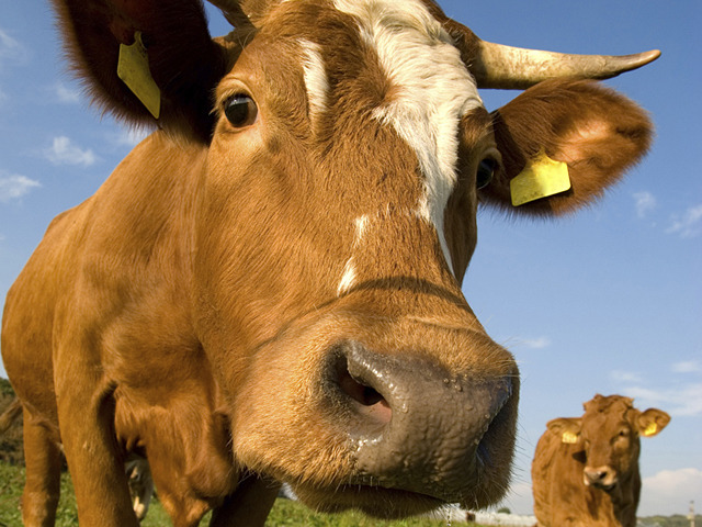 Rules tightened for large livestock operations