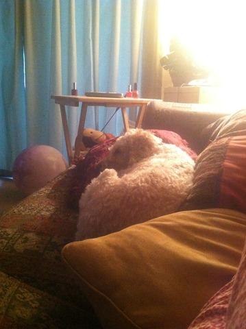Mi perro Coco dormir en el sofá