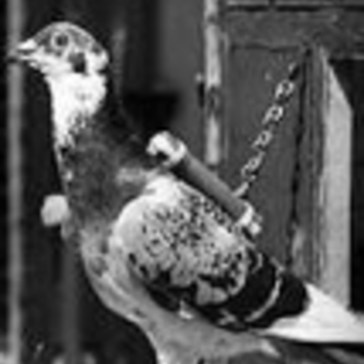 The History of Carrier Pigeons timeline