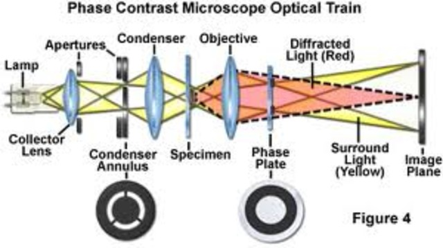 The phase contrast microscope was invented