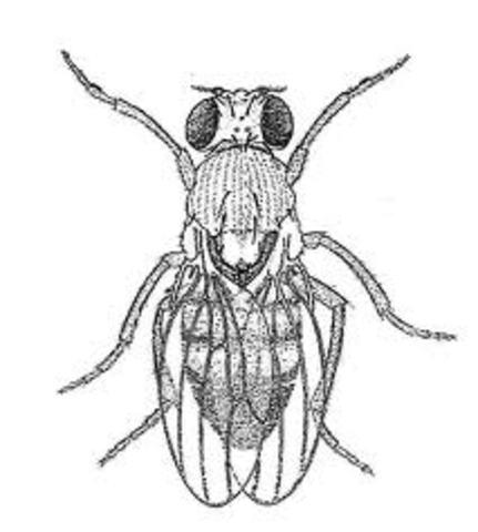 Alfred Sturtevant began constructing a chromosomal map for fruit flies