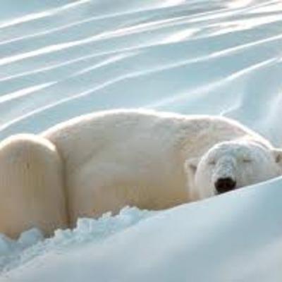 habitat polar bears timeline