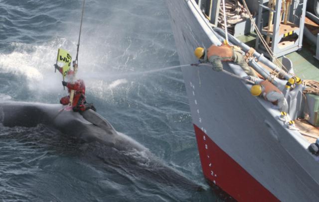 Greenpeace dénonce un trafic de viande de baleine au Japon.