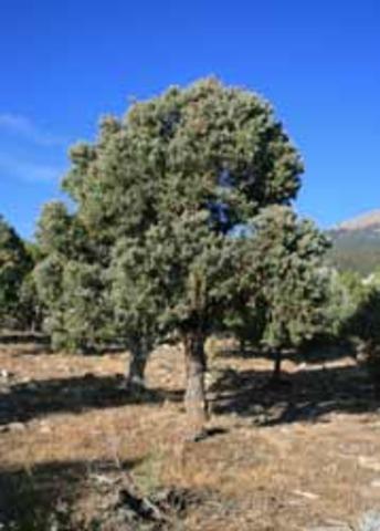 Pinon Trees start to die