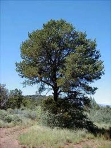 Piñon trees
