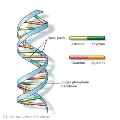 DNA: The Genetic Material Timeline