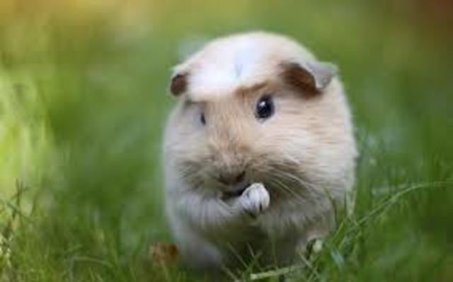 6. Guinea Pigs