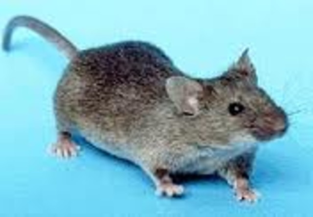 Stems cells used to regenerate a paralized mouse