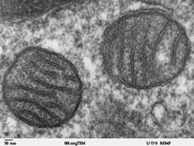Открытие митохондрий у растений  немецким учёным Ф. Мевесом