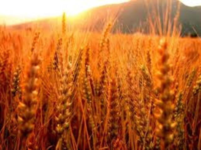 Revueltas contra la carestía que acusan a la liberación del precio del trigo impuesta por Turgot.