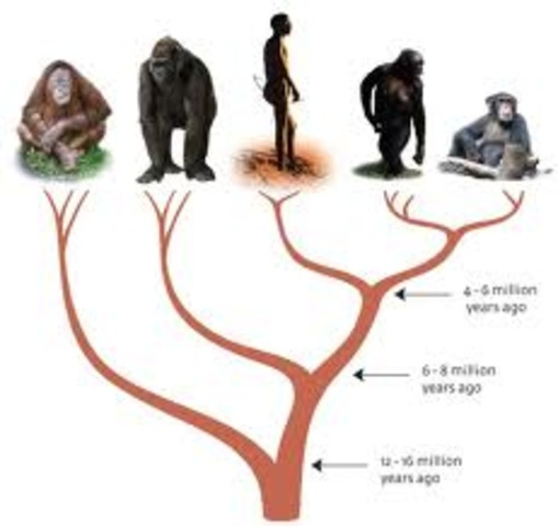 (Evolution) Humans and Apes
