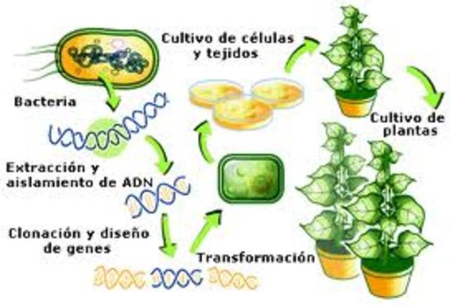 Planta modificada genéticamente