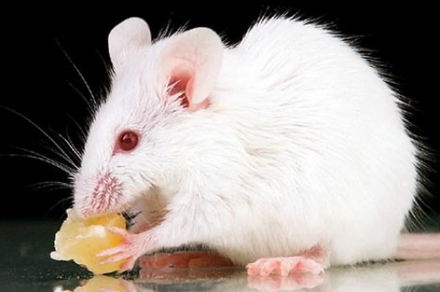 Primera clonació d'un ratolí