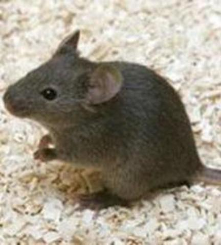 Es clona un ratolí mascle