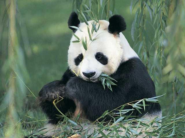 Clon d'un panda mort amb mare conill