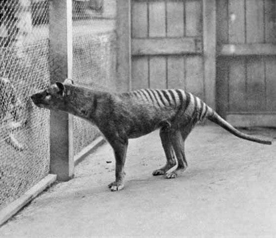 Reconstrucció de l'ADN del tigre de tasmània