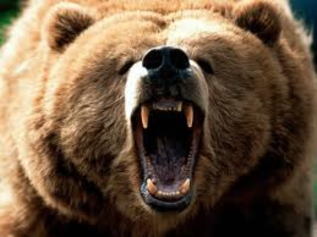Grizzely Bear