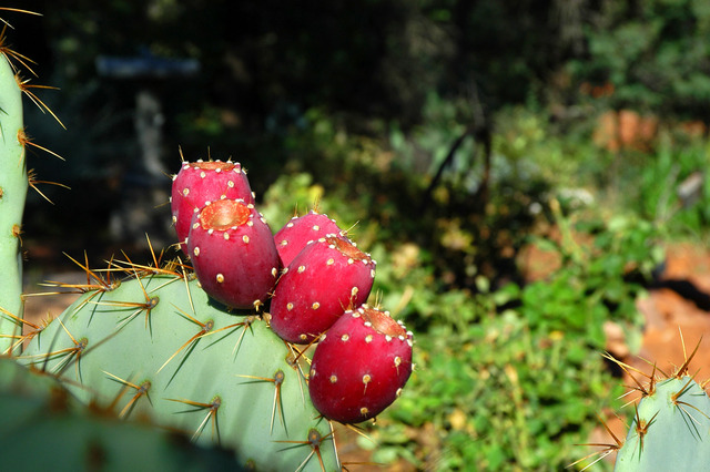 The expedition is plagued by prickly pears from the plant Opuntia