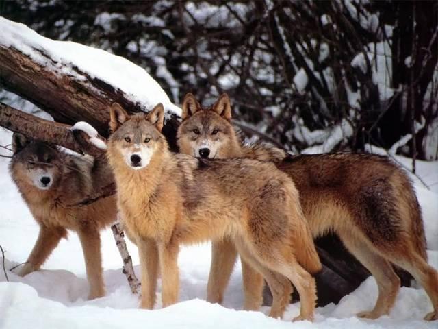 Wolves wolves everywhere