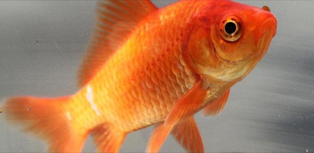I got my first goldfish