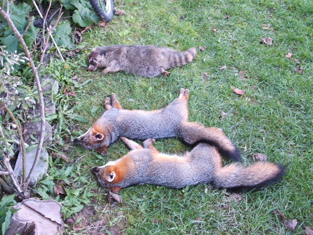 Trapped these Gray Foxes