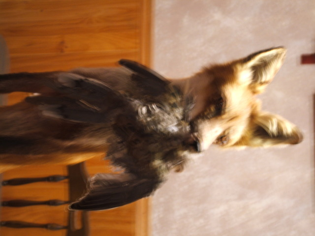 Dove in Fox Mouth