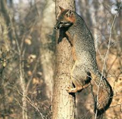 The Gray Fox Continued...