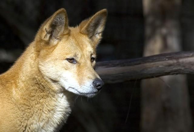Dingo Found Guilty