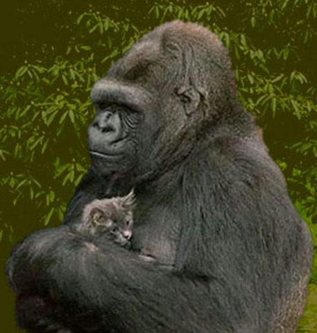 KOKO the Gorilla