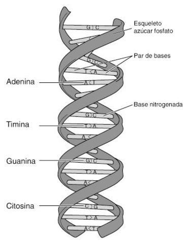 Estructura de una molécula de ADN