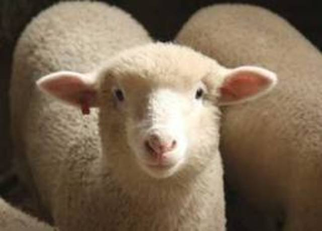 Sheep Raising
