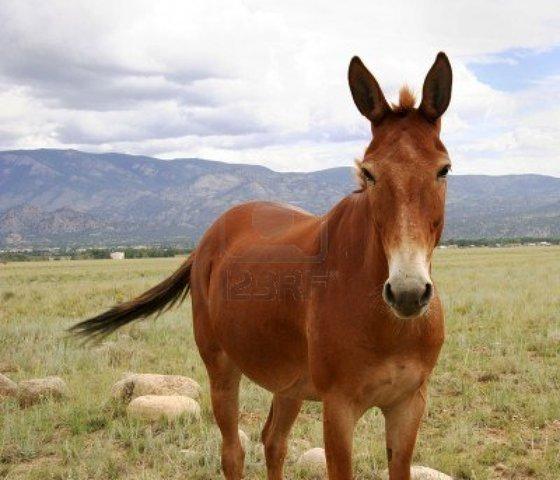 Buy a Mule